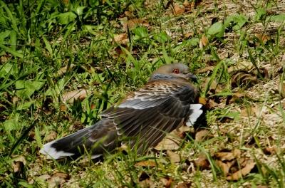 soku_36192.jpg :: 動物 野鳥 ハト科 キジバト