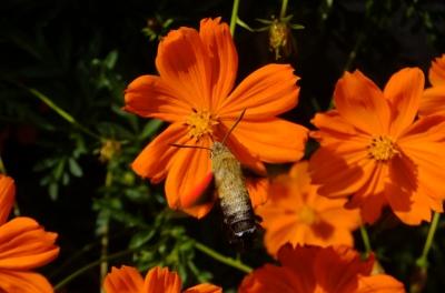 soku_36194.jpg :: 動物 昆虫 蛾 スズメガ科 ヒメクロホウジャク