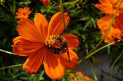 soku_36195.jpg :: 動物 昆虫 蜂 ツチバチ科 キンケハラナガツチバチ♀