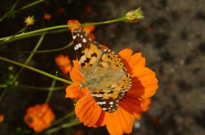 soku_36196.jpg :: 動物 昆虫 蝶 タテハチョウ科 ヒメアカタテハ