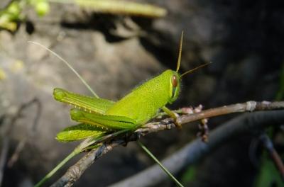 soku_36199.jpg :: 動物 昆虫 バッタ イナゴ科 ツチイナゴ幼虫