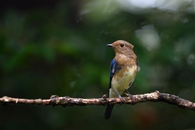 soku_36201.jpg :: 動物 鳥 野鳥 自然の鳥 オオルリ