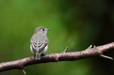 soku_36202.jpg :: 動物 鳥 野鳥 自然の鳥 コサメビタキ
