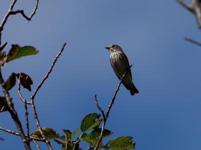 soku_36205.jpg :: 動物 鳥 野鳥 自然の鳥 エゾビタキ
