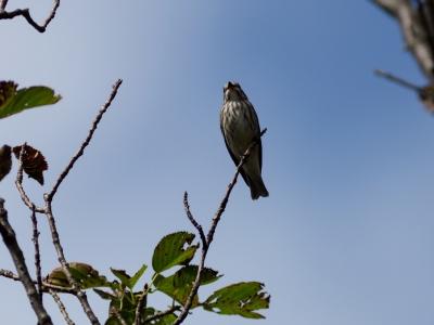 soku_36206.jpg :: 動物 鳥 野鳥 自然の鳥 エゾビタキ