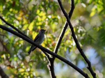 soku_36208.jpg :: 動物 鳥 野鳥 自然の鳥 サメビタキ