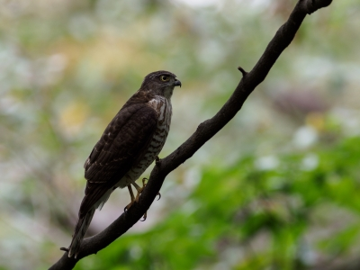 soku_36210.jpg :: 動物 鳥 野鳥 自然の鳥 ツミ