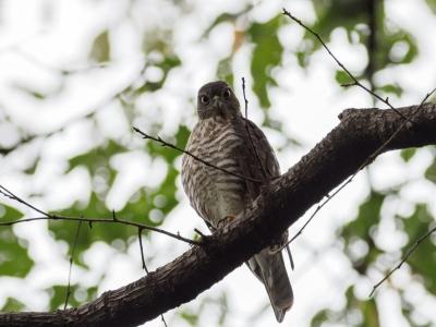 soku_36211.jpg :: 動物 鳥 野鳥 自然の鳥 ツミ