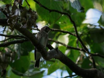 soku_36212.jpg :: 動物 鳥 野鳥 自然の鳥 サメビタキ