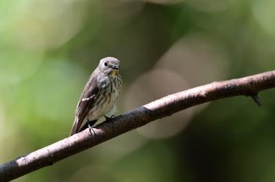 soku_36227.jpg :: 動物 鳥 野鳥 自然の鳥 エゾビタキ