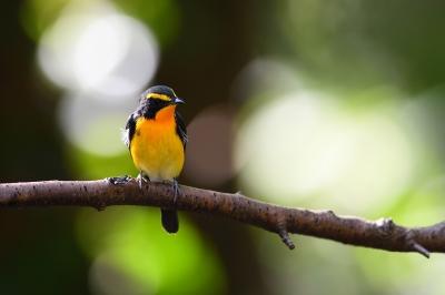 soku_36228.jpg :: 動物 鳥 野鳥 自然の鳥 キビタキ
