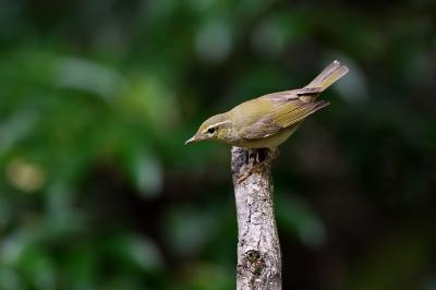 soku_36229.jpg :: 動物 鳥 野鳥 自然の鳥 オオムシクイ