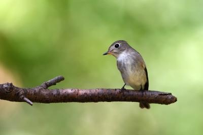 soku_36230.jpg :: 動物 鳥 野鳥 自然の鳥 コサメビタキ