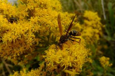 soku_36232.jpg :: 動物 昆虫 蜂 スズメバチ科 セグロアシナガバチ♂