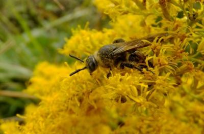 soku_36234.jpg :: 動物 昆虫 蜂 ツチバチ科 オオハラナガツチバチ♀