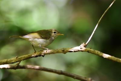 soku_36236.jpg :: 動物 鳥 野鳥 自然の鳥 メボソムシクイ