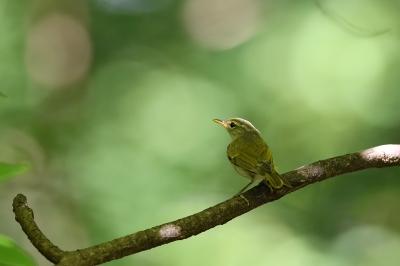 soku_36237.jpg :: 動物 鳥 野鳥 自然の鳥 メボソムシクイ