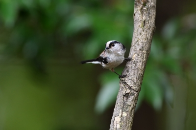soku_36238.jpg :: 動物 鳥 野鳥 自然の鳥 エナガ
