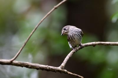 soku_36239.jpg :: 動物 鳥 野鳥 自然の鳥 エゾビタキ