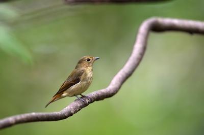 soku_36240.jpg :: 動物 鳥 野鳥 自然の鳥 キビタキ♀