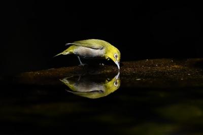 soku_36241.jpg :: 動物 鳥 野鳥 自然の鳥 メジロ