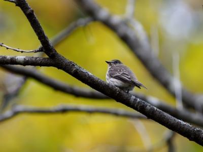 soku_36242.jpg :: 動物 鳥 野鳥 自然の鳥 エゾビタキ