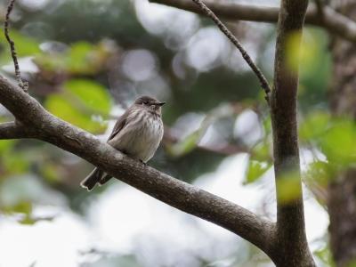 soku_36243.jpg :: 動物 鳥 野鳥 自然の鳥 エゾビタキ