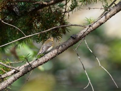 soku_36244.jpg :: 動物 鳥 野鳥 自然の鳥 ムギマキ