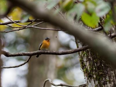 soku_36246.jpg :: 動物 鳥 野鳥 自然の鳥 ムギマキ