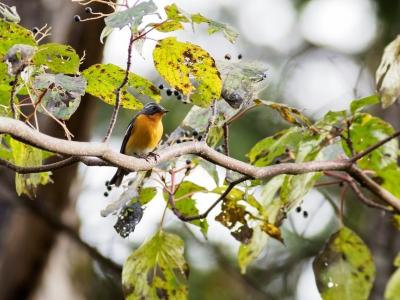 soku_36249.jpg :: 動物 鳥 野鳥 自然の鳥 ムギマキ