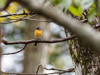 soku_36250.jpg :: 動物 鳥 野鳥 自然の鳥 ムギマキ