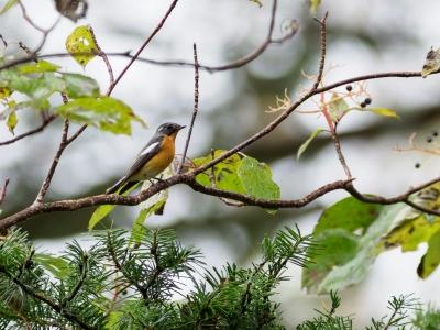 soku_36251.jpg :: 動物 鳥 野鳥 自然の鳥 ムギマキ
