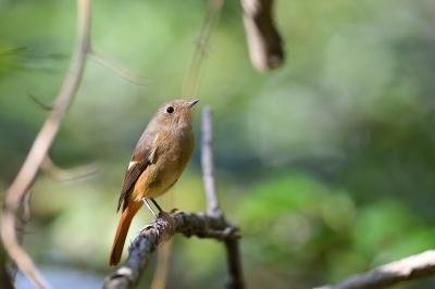 soku_36259.jpg :: 動物 鳥 野鳥 自然の鳥 ジョウビタキ