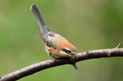 soku_36260.jpg :: 動物 鳥 野鳥 自然の鳥 モズ