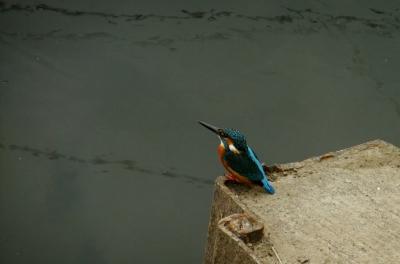 soku_36263.jpg :: 動物 野鳥 カワセミ科 カワセミ♂