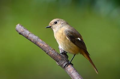 soku_36275.jpg :: 動物 鳥 野鳥 自然の鳥 ジョウビタキ