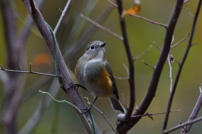 soku_36284.jpg :: 動物 鳥 野鳥 自然の鳥 ルリビタキ ♀