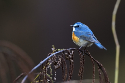 soku_36285.jpg :: 動物 鳥 野鳥 自然の鳥 ルリビタキ ♂