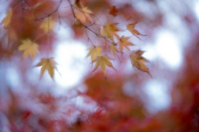 soku_36288.jpg :: レンズベビーvelvet56 f2 風景 自然 紅葉 赤い紅葉