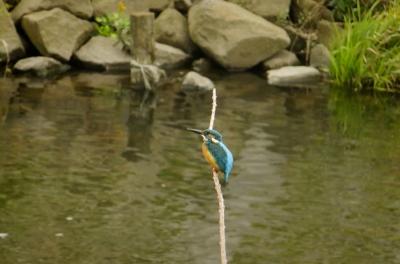 soku_36292.jpg :: 動物 野鳥 カワセミ科 カワセミ♂
