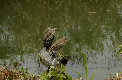 soku_36293.jpg :: 動物 野鳥 サギ科 ゴイサギ幼鳥 ホシゴイ