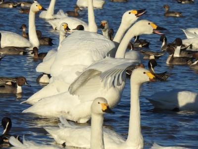 soku_36298.jpg :: コハクチョウ 動物 鳥 白鳥 ハクチョウ