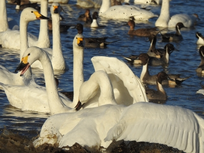 soku_36299.jpg :: コハクチョウ 動物 鳥 白鳥 ハクチョウ
