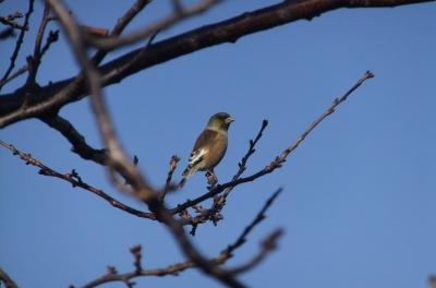 soku_36302.jpg :: 動物 野鳥 アトリ科 オオカワラヒワ♂