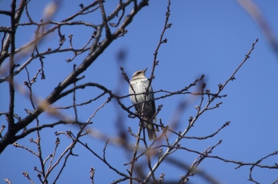 soku_36303.jpg :: 動物 野鳥 ヒタキ科 ツグミ