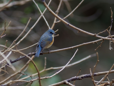 soku_36306.jpg :: 動物 鳥 野鳥 自然の鳥 ルリビタキ