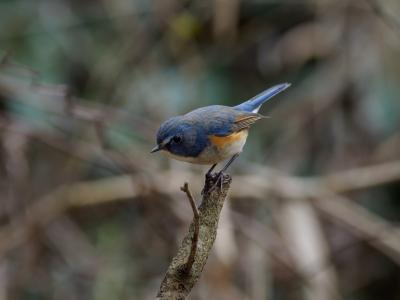 soku_36307.jpg :: 動物 鳥 野鳥 自然の鳥 ルリビタキ