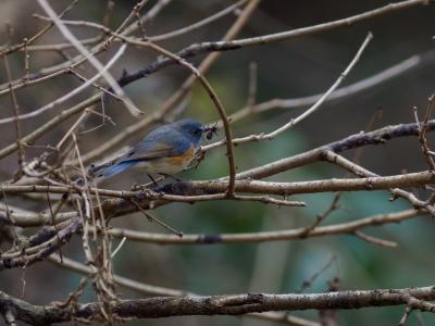 soku_36308.jpg :: 動物 鳥 野鳥 自然の鳥 ルリビタキ
