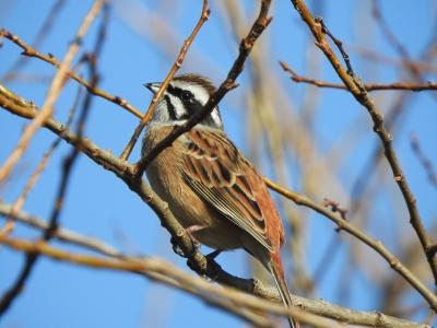 soku_36329.jpg :: 野鳥 ホオジロ科 ホオジロ