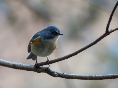 soku_36331.jpg :: 動物 鳥 野鳥 自然の鳥 ルリビタキ